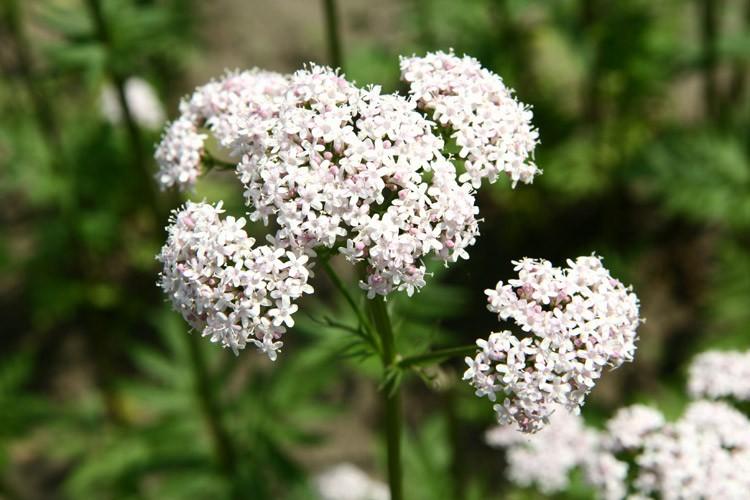 растение валерианы во время цветения